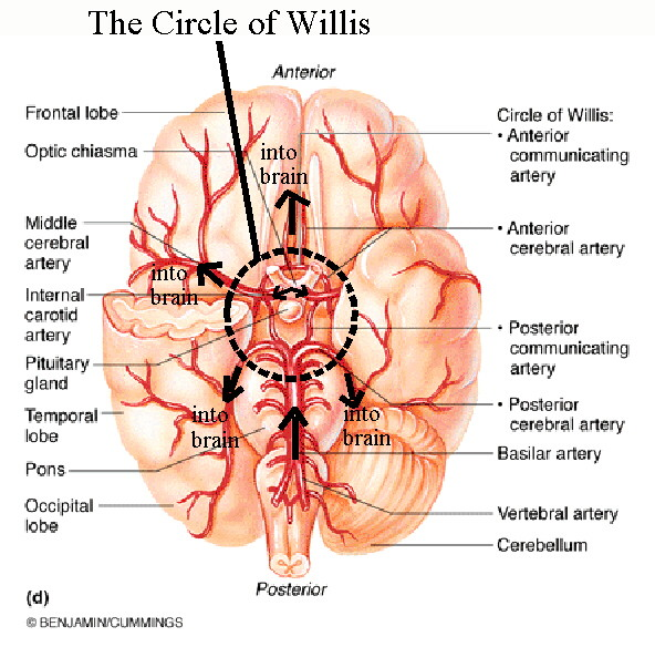 Circle cerebral arterial schematic.