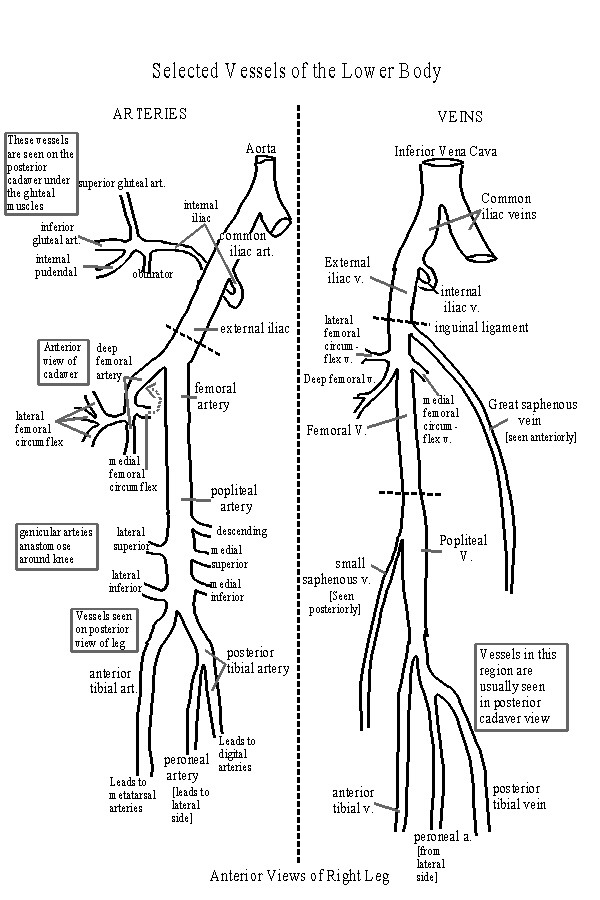 Cardiovascular System: Blood Vessels of the Leg [ Lower Vessels ...