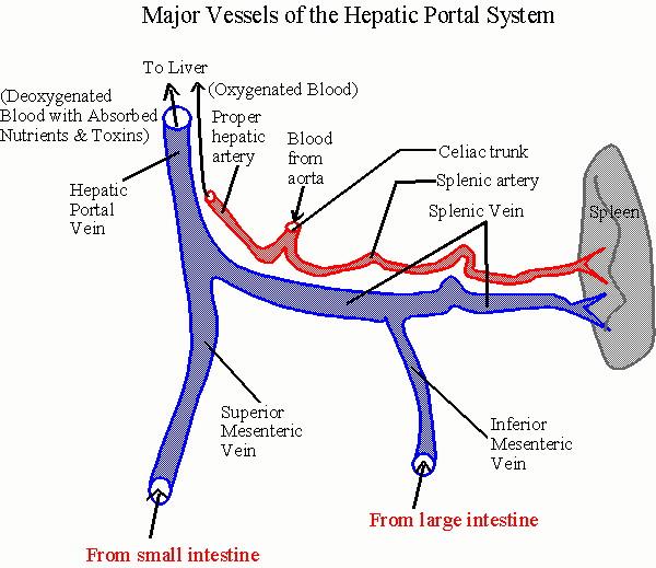 Urinary System & Circulation