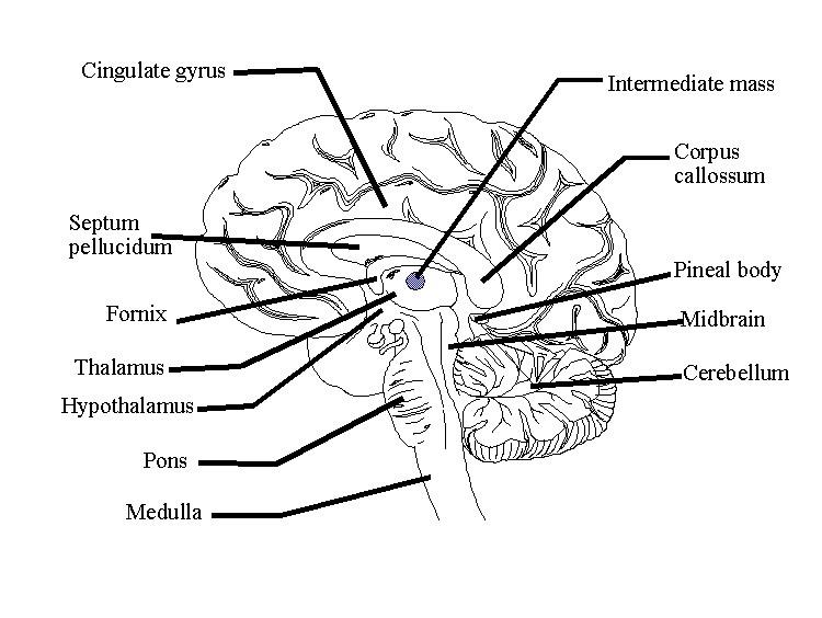 burdette blog  brain diagram