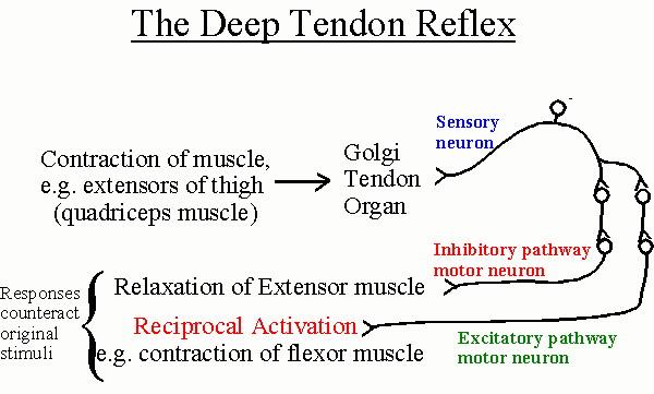 The Nervous System PDF