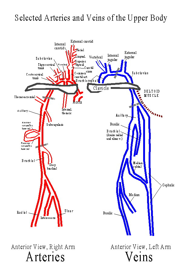 Arteries and Veins of the Neck and Arm.