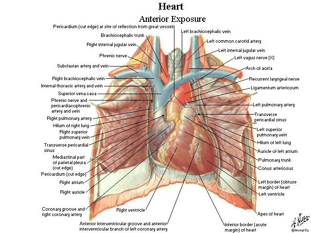 cadaver heart pictures
