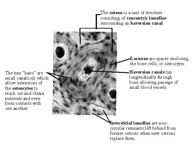 Bone Histology Images