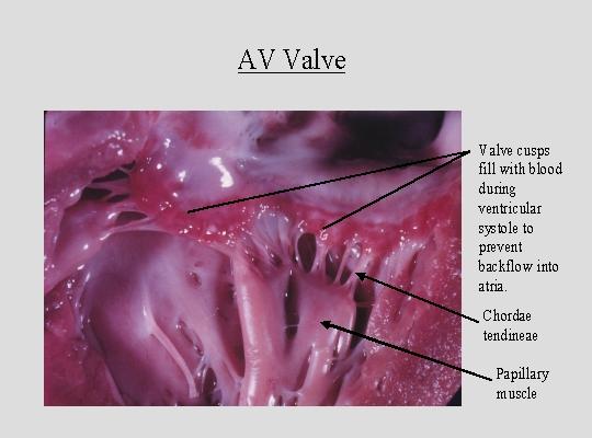 Heart Valve Histology